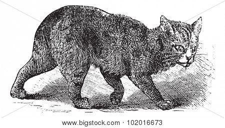 Manx, vintage engraving. Old engraved illustration of a Manx. Trousset encyclopedia.
