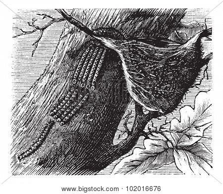 Processionary Caterpillar or Thaumetopoeidae, vintage engraving. Old engraved illustration of Processionary Caterpillars. Trousset encyclopedia.