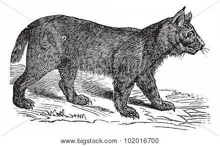 Lynx or Bobcat or Lynx lynx or Lynx canadensis or Lynx pardinus or Lynx rufus, vintage engraving. Old engraved illustration of a Lynx. Trousset encyclopedia.
