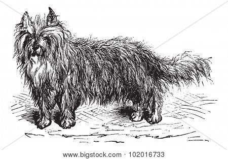 Skye Terrier or Canis lupus familiaris, vintage engraving. Old engraved illustration of a Skye Terrier. Trousset encyclopedia.