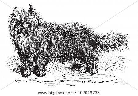 Skye Terrier or Canis lupus familiaris, vintage engraving. Old engraved illustration of a Skye Terrier. Trousset encyclopedia.