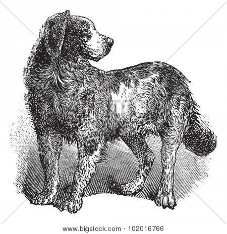 Newfoundland or Canis lupus familiaris, vintage engraving. Old engraved illustration of a Newfoundland. Trousset encyclopedia.