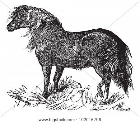 Shetland Pony or Equus ferus caballus, vintage engraving. Old engraved illustration of a Shetland Pony. Trousset encyclopedia.