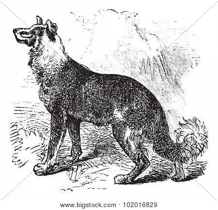 Belgian Shepherd or Belgian Sheepdog or Canis lupus familiaris, vintage engraving. Old engraved illustration of a Belgian Shepherd. Trousset encyclopedia.