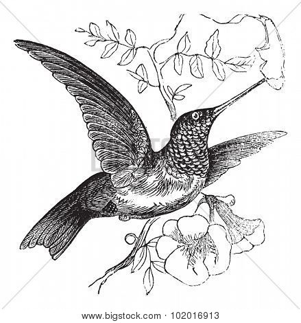 Ruby-throated Hummingbird or Archilochus colubris, vintage engraving. Old engraved illustration of a Ruby-throated Hummingbird. Trousset Encyclopedia