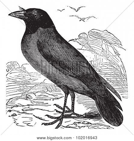 Hooded Crow or Hoodiecrow or Corvus cornix, vintage engraving. Old engraved illustration of a Hooded Crow. Trousset Encyclopedia