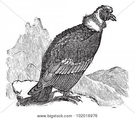 Andean Condor or Vultur gryphus, vintage engraving. Old engraved illustration of Andean Condor. Trousset Encyclopedia