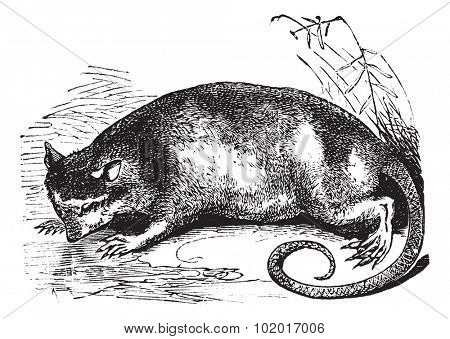 Water Opossum or Yapok or Chironectes minimus, vintage engraving. Old engraved illustration of a Water Opossum. Trousset Encyclopedia