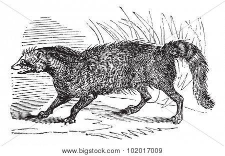 Civet or Viverridae, vintage engraving. Old engraved illustration of a Civet. Trousset Encyclopedia