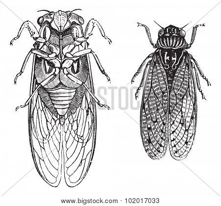 Cicada or Cicadidae or Tettigarctidae, vintage engraving. Old engraved illustration of Cicadas. Trousset Encyclopedia