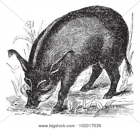 Warthog or Wart-hog or African Lens-Pig or Phacochoerus africanus, vintage engraving. Old engraved illustration of a Warthog. Trousset Encyclopedia.