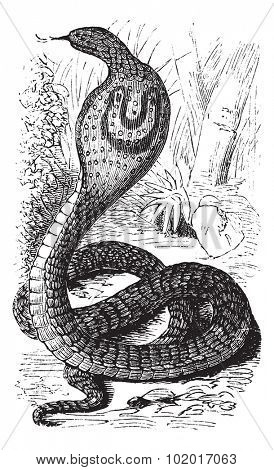 Indian Cobra or Spectacled Cobra or Naja naja, vintage engraving. Old engraved illustration of an Indian Cobra. Trousset Encyclopedia.