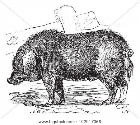 Curly-hair Hog or Mangalitsa or Mangalitza or Mangalica or Sus bucculentus, vintage engraving. Old engraved illustration of a Curly-hair Hog. Trousset Encyclopedia.