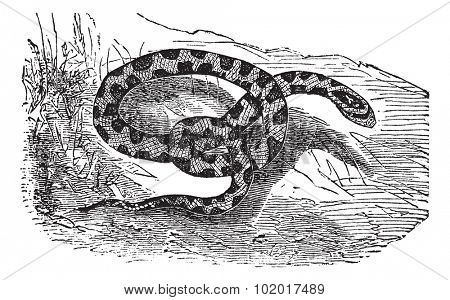 Chicken Snake or Rat Snake or Elaphe sp. or Pituophis melanoleucus, vintage engraving. Old engraved illustration of a Chicken Snake. Trousset Encyclopedia