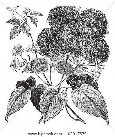 Devil's Darning Needles or Devil's Hair or Love Vine or Traveller's Joy or Virgin's Bower or Virginia Virgin's Bower or Wild Hops or Woodbine or Clematis virginiana, vintage engraving. Trousset Enc.