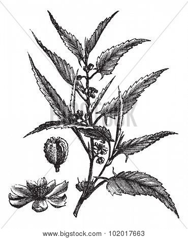 Jute or Corchorus capsularis or Corchorus olitorius, vintage engraving. Old engraved illustration of a Jute showing flowers. Trousset Encyclopedia