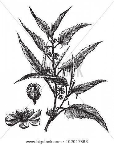 Jute or Corchorus capsularis or Corchorus olitorius, vintage engraving. Old engraved illustration of a Jute showing flowers. Trousset Encyclopedia
