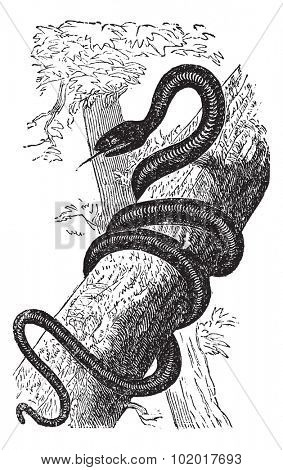 Eastern Racer or Coluber constrictor, vintage engraving. Old engraved illustration of an Eastern Racer. Trousset Encyclopedia