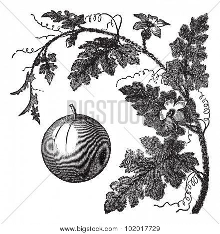 Colocynth or Bitter Apple or Bitter Cucumber or Egusi or Vine of Sodom or Citrullus colocynthis, vintage engraving. Old engraved illustration of a Colocynth showing fruit.  Trousset Encyclopedia