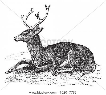 Mule deer or Odocoileus hemionus vintage engraving. Old engraved illustration of mule deer. Trousset encyclopedia.