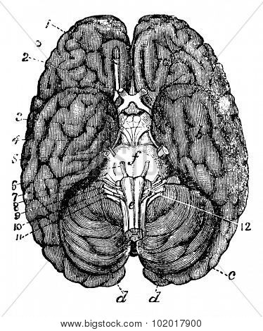 Human brain vintage engraving. Old engraved illustration of human brain parts numbered. Trousset encyclopedia.