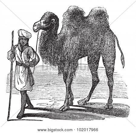Bactrian camel or Camelus bactrianus vintage engraving. Old engraved illustration of a man leading a bactrian camel on desert. Trousset encyclopedia.