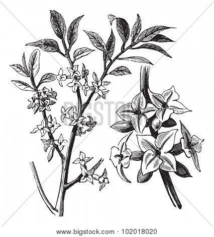 Daphne or Daphne mezereum, vintage engraving. Old engraved illustration of a Daphne plant showing flowers. Trousset Encyclopedia