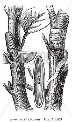 Budding, vintage engraving. Old engraved illustration of the Budding process. Trousset Encyclopedia