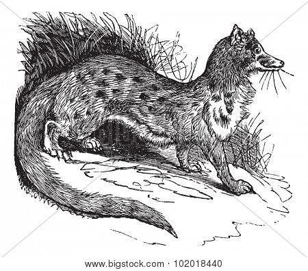 Rusty-spotted Genet or Genetta maculata or Panther Genet, vintage engraving. Old engraved illustration of Rusty-spotted Genet in the meadow.  Trousset Encyclopedia.