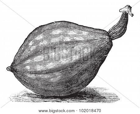 Bottle gourd or Lagenaria siceraria or Lagenaria vulgaris or Calabash or Opo squash or Long melon, vintage engraving. Old engraved illustration of Bottle gourd, isolated on a white background.