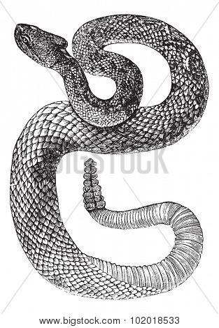 South American Rattlesnake or Tropical Rattlesnake or Crotalus durissus, vintage engraving. Old engraved illustration of a South American Rattlesnake. Trousset Encyclopedia.