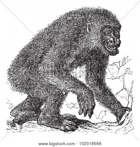 Gorilla, vintage engraving. Old engraved illustration of Gorilla, running in the meadow. Trousset Encyclopedia.