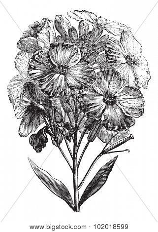 Aegean wallflower or Erysimum cheiri or Cheiranthus cheiri, vintage engraving. Old engraved illustration of Aegean wallflower, isolated on a white background. Trousset Encyclopedia.
