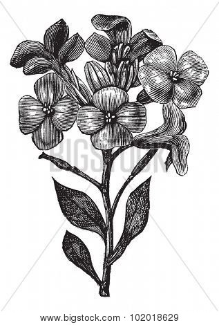 Gillyflower or Hoary stock or Tenweeks stock or Matthiola incana, vintage engraving. Old engraved illustration of Gillyflower, isolated on a white background. Trousset Encyclopedia.
