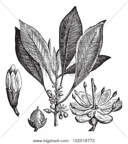 Gutta-percha (Isonandra gutta) or Palaquium gutta vintage engraving. Old engraved illustration of leaves, flowers and fruit of gutta percha. Trousset Encyclopedia