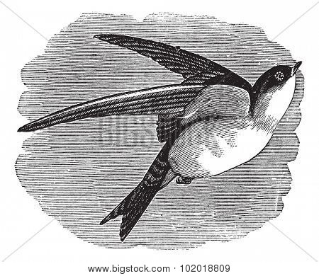 Common House Martin or Delichon urbicum or Northern House Martin or House Martin or Hirundo urbica, vintage engraving. Engraved illustration of a Common House Martin in flight. Trousset Encyclopedia.