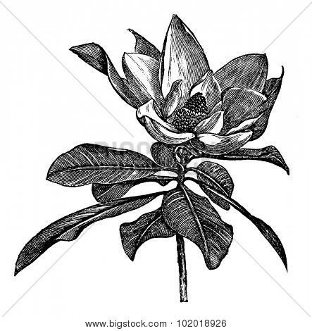 Southern magnolia or Magnolia grandiflora or Bull bay or Laurel magnolia or Evergreen magnolia or Large-flower magnolia or Big laurel, vintage engraving. Isolated on a white background. Trousset