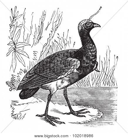 Horned Screamer or Anhima cornuta, vintage engraving. Old engraved illustration of Horned Screamer, close to the water. Trousset Encyclopedia