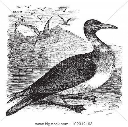 Booby or Sula sp., vintage engraving. Old engraved illustration of a Booby. Trousset Encyclopedia