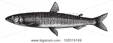 Smelt or European Smelt or Osmerus eperlanus, vintage engraving. Old engraved illustration of a Smelt. Trousset Encyclopedia
