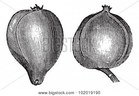 1- Pignut hickory 2. Bitternut hickory vintage engraving. Old engraved illustration of pignut and bitternut hickory. Trousset Encyclopedia