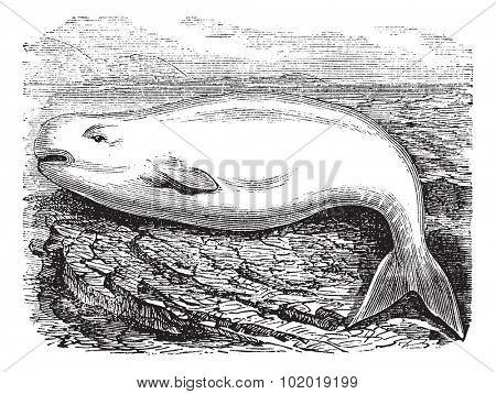 Beluga Whale or White Whale or Delphinapterus leucas, vintage engraving. Old engraved illustration of a Beluga. Trousset Encyclopedia