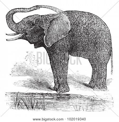 African Bush Elephant or Loxodonta africana, vintage engraving. Old engraved illustration of African Bush Elephant. Trousset Encyclopedia