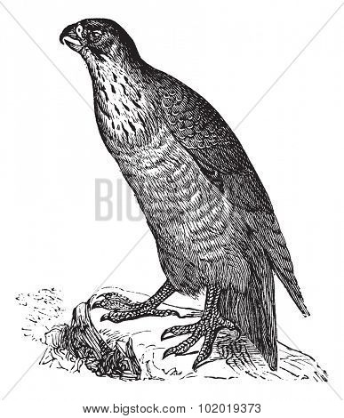 Peregrine Falcon or Falco peregrinus, vintage engraving. Old engraved illustration of a Peregrine Falcon. Trousset Encyclopedia