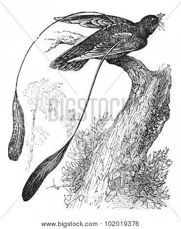 Standard-winged Nightjar or Macrodipteryx longipennis, vintage engraving. Old engraved illustration of Standard-winged Nightjar showing its wing ornament. Trousset Encyclopedia