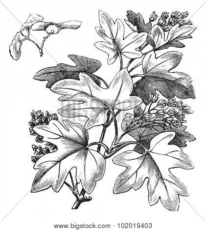 Field Maple or Hedge Maple or Acer campestre, vintage engraving. Old engraved illustration of a Field Maple showing flowers and winged seeds (upper left).  Trousset encyclopedia (1886 - 1891)