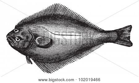 Atlantic Halibut or Hippoglossus hippoglossus, vintage engraving. Old engraved illustration of an Atlantic Halibut.  Trousset encyclopedia (1886 - 1891)