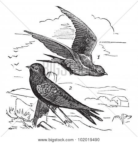 Common Swift or Apus apus, vintage engraving. Old engraved illustration of Common Swift female (1) flying and male (2) waiting on a branch.  Trousset encyclopedia (1886 - 1891)