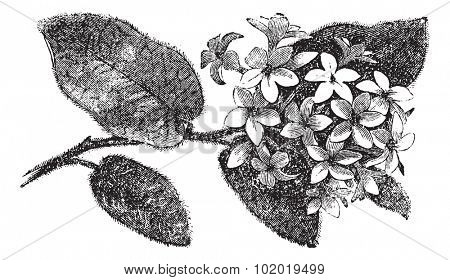Mayflower or Trailing Arbutus or Epigaea repens, vintage engraving. Old engraved illustration of a Mayflower.  Trousset encyclopedia (1886 - 1891)