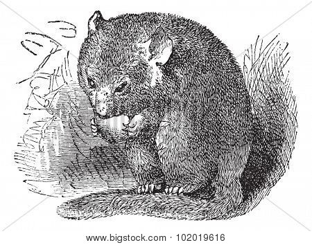 Hazel Dormouse or Muscardinus avellanarius or Common Dormouse, vintage engraving. Old engraved illustration of Hazel Dormouse eating in the meadow. Trousset encyclopedia (1886 - 1891)
